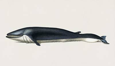 Painting - Vintage Illustration Of Balaenoptera Rorqual by Celestial Images