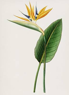 Painting - Vintage Illustration Of Bird Of Paradise   Strelitzia Reginae  by Celestial Images