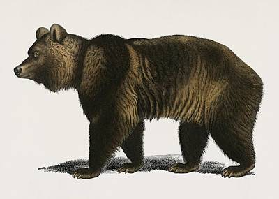 Painting - Vintage Illustration Of Brown Bear  Ursus Arctos  by Celestial Images