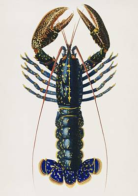 Painting - Vintage Illustration Of Crimson Crawfish  Palemon Ornatum  by Celestial Images