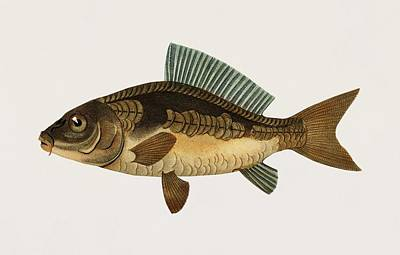 Painting - Vintage Illustration Of Cyprinus Carpio by Celestial Images