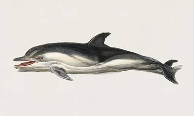 Painting - Vintage Illustration Of Delphinus Delphis by Celestial Images