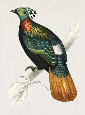 Painting - Vintage Illustration Of Himalayan Monal  Lophophorus Refulgens  by Celestial Images