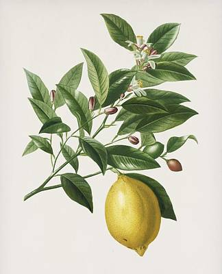 Painting - Vintage Illustration Of Lemon  Citrus Limonium  by Celestial Images