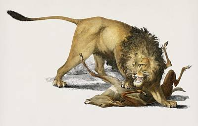 Painting - Vintage Illustration Of Lion  Panthera Leo  by Celestial Images