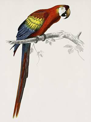 Painting - Vintage Illustration Of Macaw  Ara Canga  by Celestial Images