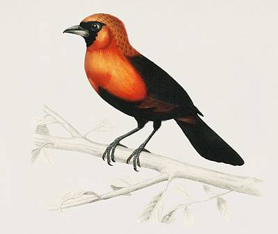 Painting - Vintage Illustration Of Masked Crimson Tanager  Ramphocelus Nigrogularis  by Celestial Images