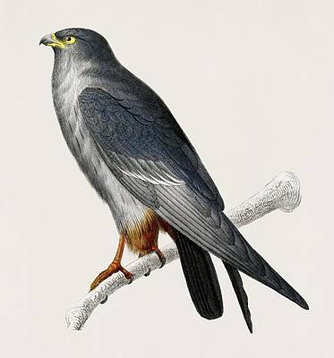 Painting - Vintage Illustration Of Red Footed Falcon  Falco Rufipes  by Celestial Images