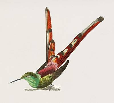Painting - Vintage Illustration Of Red Tailed Comet  Oiseau Nouche Sapho  by Celestial Images