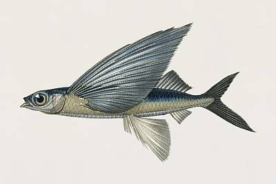 Painting - Vintage Illustration Of Stropical Two Wing Flying Fish  Exocoetus Volitan  by Celestial Images