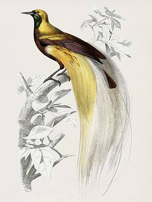 Painting - Vintage Illustration Of The Greater Bird-of Paradise  Paradisaea Apoda  by Celestial Images