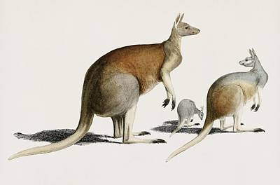 Painting - Vintage Illustration Of The Red Kangaroo  Macropus Rufus  by Celestial Images