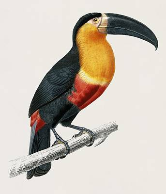 Painting - Vintage Illustration Of Toucan  Ramphastos  by Celestial Images