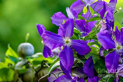 Photograph - Violet Clematis by Susan Rydberg