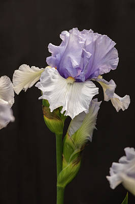 Photograph - Violet-white Iris by Mark Mille