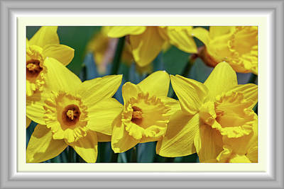 Royalty-Free and Rights-Managed Images - Virginia Country Daffodils  by Betsy Knapp