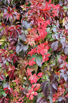 Photograph - Virginia Creeper Color by Carol Groenen