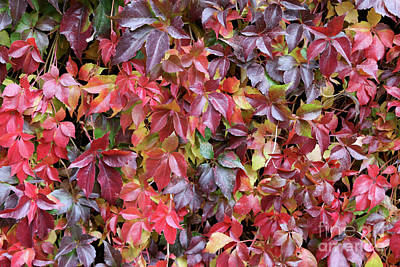 Photograph - Virginia Creeper Wall by Carol Groenen