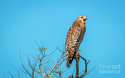 Photograph - Vocal Hawk by Tom Claud