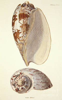 Painting - Voluta Miltonis, From The Mollusca And Radiata by English School
