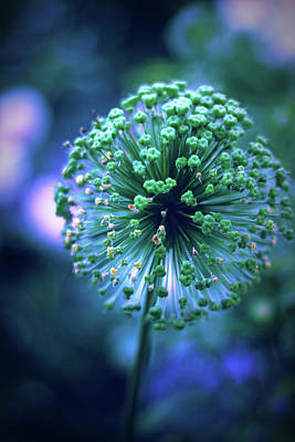 Photograph - Allium Indigo by Jessica Jenney