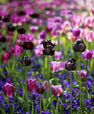 Photograph - Tulip Joy by Jessica Jenney