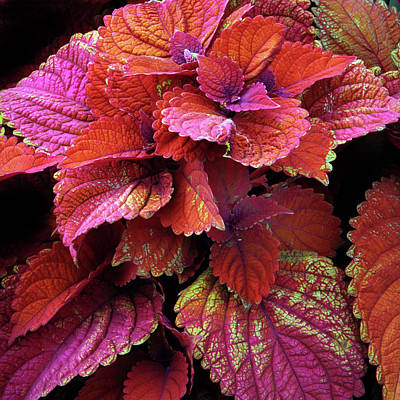 Photograph - Crimson Coleus   by Jessica Jenney