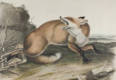 Drawing - Vulpes Fulvus, American Red Fox by John James Audubon
