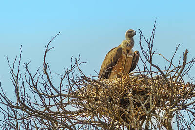 Photograph - Vulture On Its Nest by Benny Marty