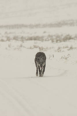 Photograph - W33 by Joshua Able's Wildlife