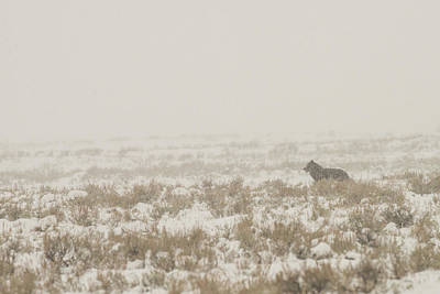 Photograph - W34 by Joshua Able's Wildlife
