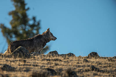 Photograph - W61 by Joshua Able's Wildlife