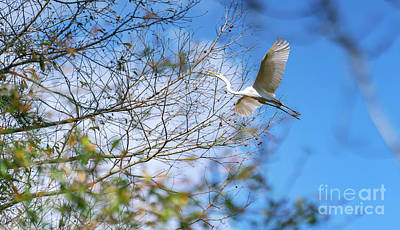 Photograph - Wacatee Egret In Flight by David Smith