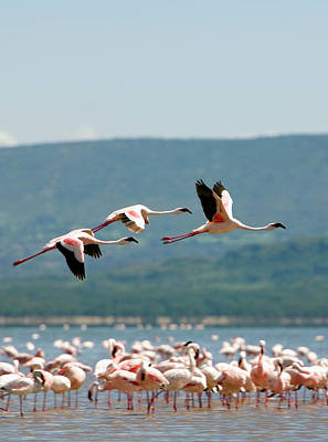Flying Photograph - Wading And Flying Flamingos by Grant Faint