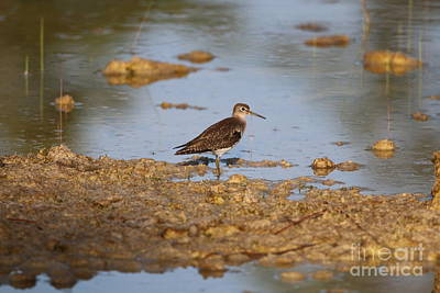 Photograph - Wading Sandpiper by Tom Claud