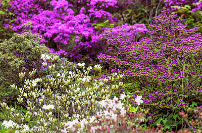Photograph - Walk In Spring Eden. Blooming Rhododendrons by Jenny Rainbow