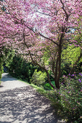 Photograph - Walk In Spring Eden. Pink Bloom Of Dogwood Tree by Jenny Rainbow