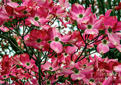 Photograph - Washington State Magnolia by Mae Wertz