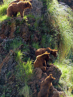 Photograph - Watchful Brown Bears by Phil Banks