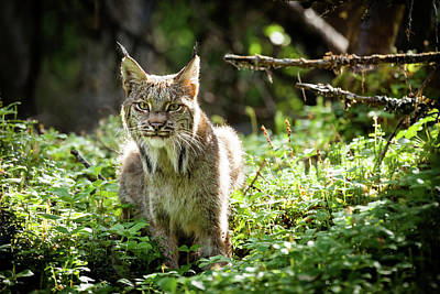 Art Print featuring the photograph Watchful Mama Lynx by Tim Newton