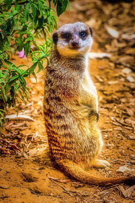 Photograph - Watchful Meerkat by Garry Gay