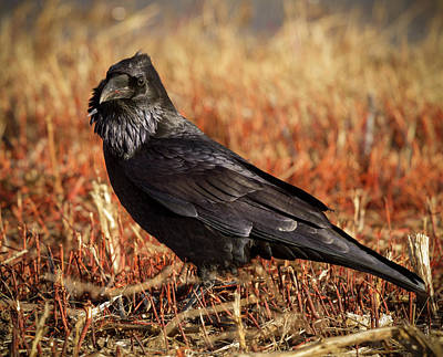 Photograph - Watchful Raven by Jean Noren