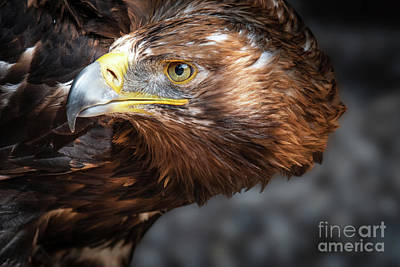 Watching Eagle Art Print