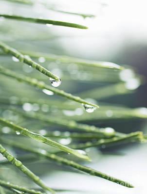 Photograph - Water Droplets On Fir Needles by Charmian Vistaunet