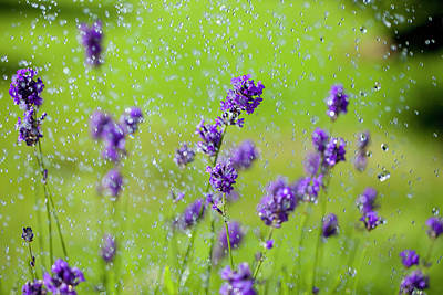 Flower In Rain Wall Art - Photograph - Water Drops Falling On Lavender Flowers by Sean Russell