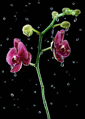 Flower In Rain Wall Art - Photograph - Water Drops Falling Onto Orchid by Chris Stein