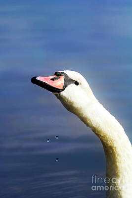 Photograph - Water Drops Swan by Terri Waters