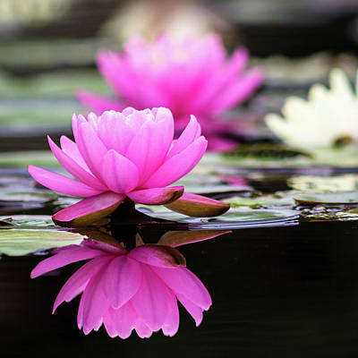 Photograph - Water Lilies 3 by Adam Kilbourne