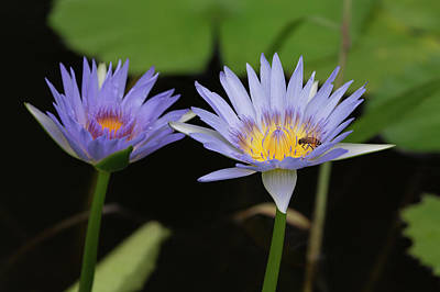 Photograph - Water Lilies And Bee by John Daly