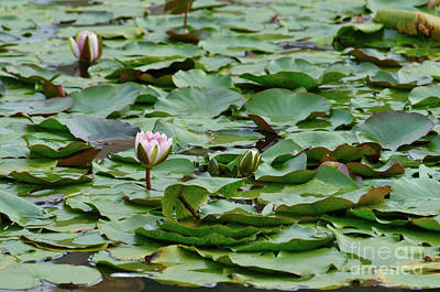 Photograph - Water Lillies In The Garden by Angelo DeVal